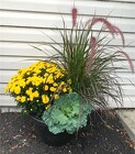Large Blooming Mum Pot in Beavercreek, Ohio, near Dayton, OH