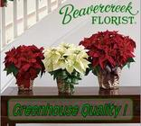 Poinsettia Plant - Red, White Etc in Beavercreek, Ohio, near Dayton, OH